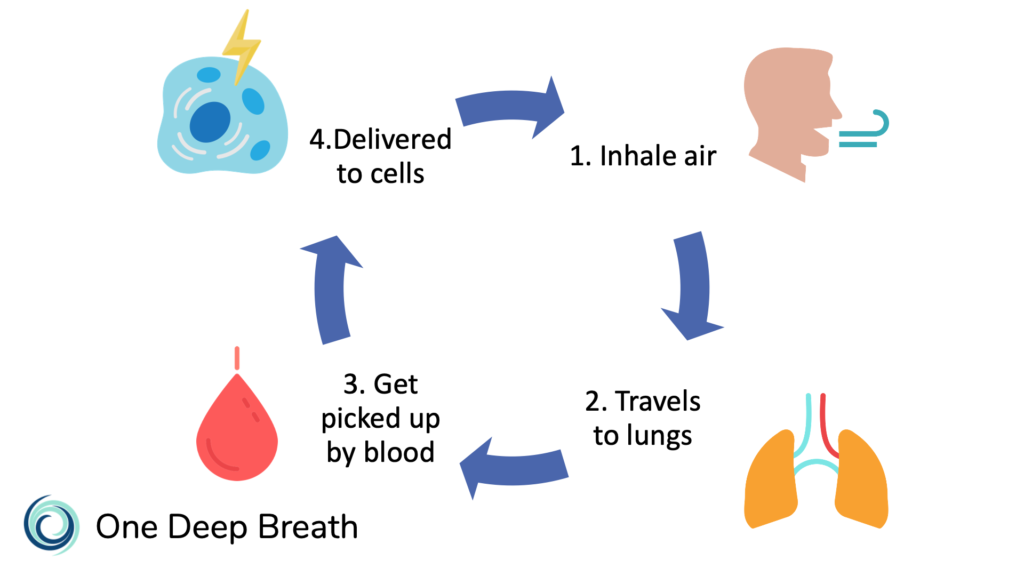 Air is inhaled, travels to the lungs, is picked up by red blood cells, and then delivered throughout the body